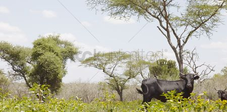 African wildlife : Nguni cow walks along edge of african field