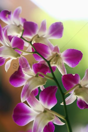 Spring : Orchid