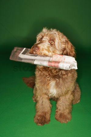 Dogs : Otterhound carrying newspaper in mouth