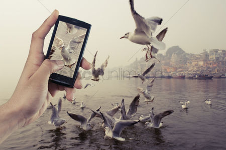 Large group of animals : Person s hand taking picture of flying birds with mobile phone  ganges river  varanasi  uttar pradesh  india