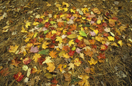 Pile : Pile of autumn leaves