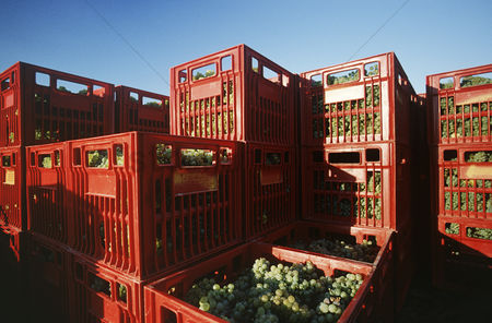 Grapes : Plastic crates filled with harvested chardonnay wine grapes yarra valley victoria australia