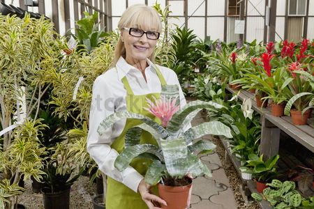 Greenhouse : Portrait of a senior gardener holding pot plant in garden center