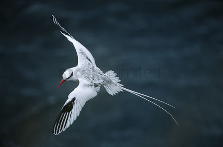 Animals in the wild : Red-billed tropicbird flying above sea elevated view
