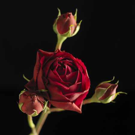 Black background : Red rose