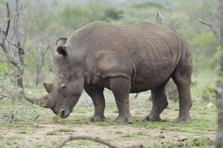 African wildlife : Rhinoceros stands in african plains