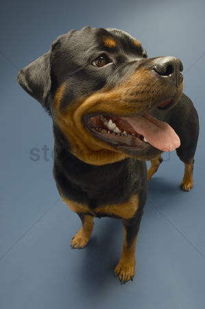 Alert : Rottweiler on blue background