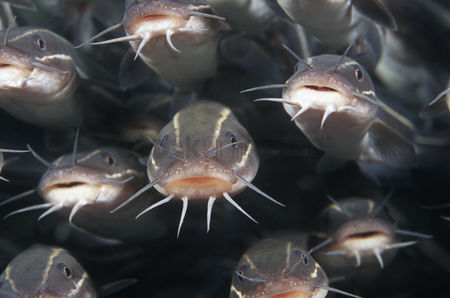 Large group of animals : School of striped catfish