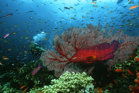 Large group of animals : Scuba diver coral grouper and school of fish on coral reef