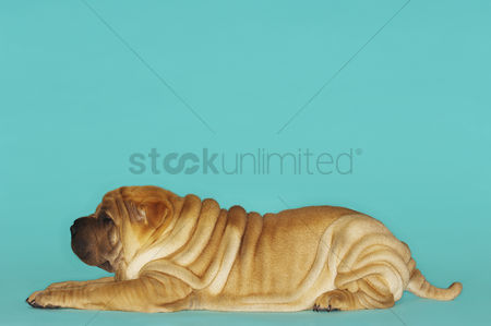 Dogs : Shar-pei lying down profile