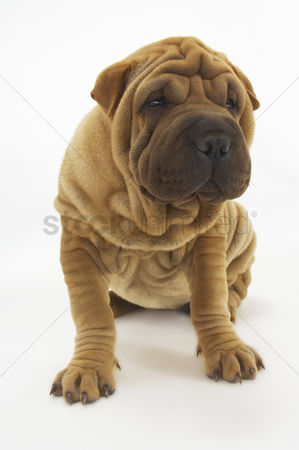 Dogs : Shar-pei sitting