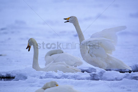 Animal : Swans in snowscape