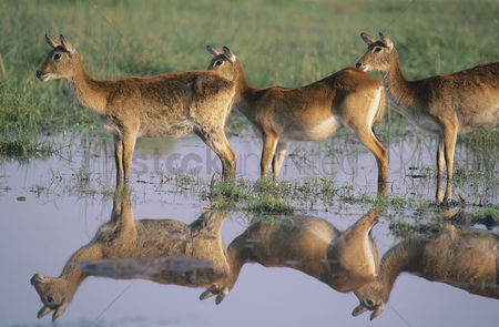 Animals in the wild : Three deer by pond