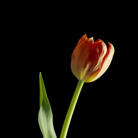 Black background : Tulip