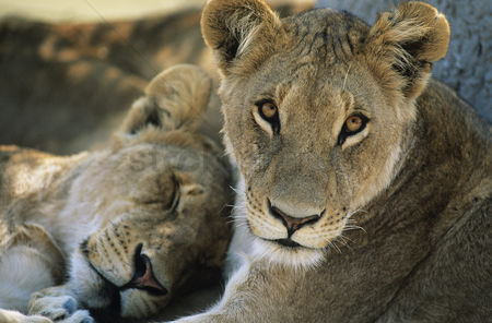 Alert : Two lions resting close-up