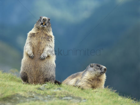 Animals in the wild : Two marmots