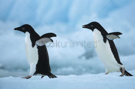 Winter : Two penguins on snow