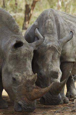African wildlife : Two rhinoceros nose the ground