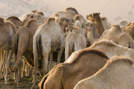 Large group of animals : Uae dubai camels feeding at a farm in the desert outside of dubai