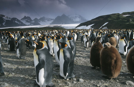 Large group of animals : Uk south georgia island colony of king penguins