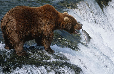 Animals in the wild : Usa alaska katmai national park brown bear catching salmon in river side view
