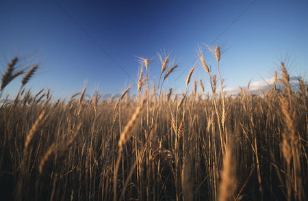 Natural : Wheat growing in field