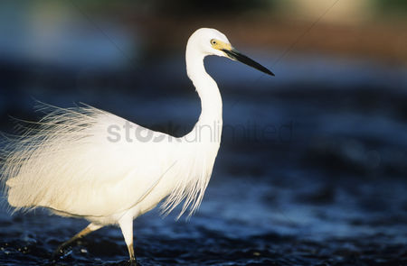 Animals in the wild : White egret wading in water