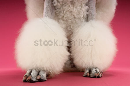 Pink : White poodle on pink background low section