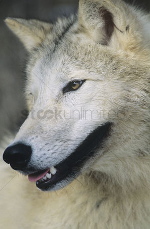 Alert : Wolf close-up of head