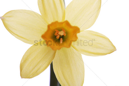 Easter : Yellow daffodils on a white background