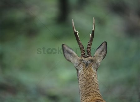 Animal head : Young deer back view